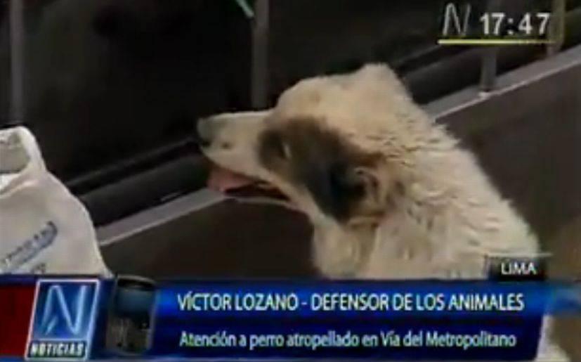 Sacrificaron al perrito rescatado de la vía del Metropolitano
