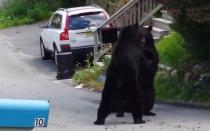 Youtube: Espectacular pelea de osos negros en EEUU