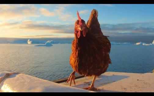 Facebook: Monique, la gallina que recorre el mundo a bordo de un yate
