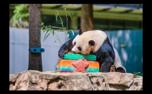 Osos panda celebraron cumpleaños con tortas de frutas | FOTOS Y VIDEO