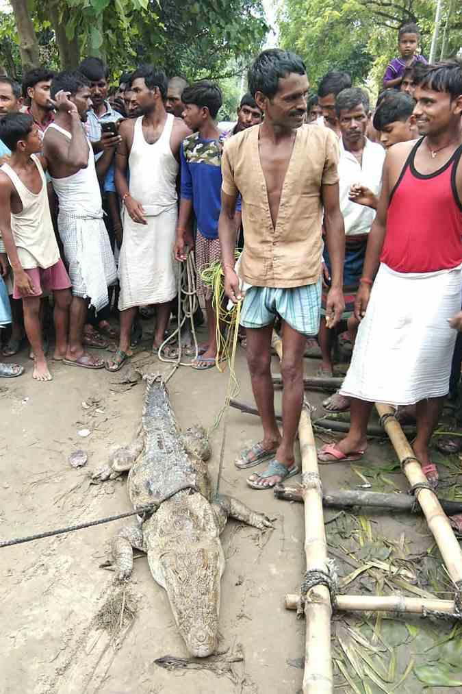 Curiosidades: cocodrilo secuestrado en la India