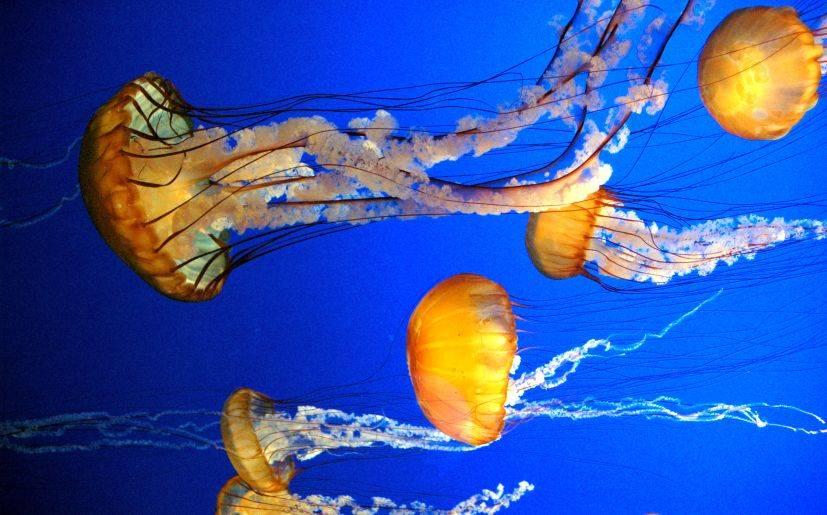 Medusas se cuentan entre mejores nadadores del mar tecnolog a y ciencia la prensa peru - Como se alimentan las medusas ...
