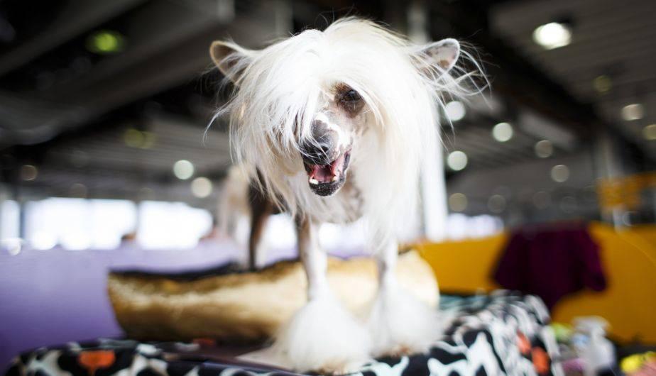 Así fue el concurso canino en el Westminster Kennel Club de Nueva York, en Estados Unidos (EFE)