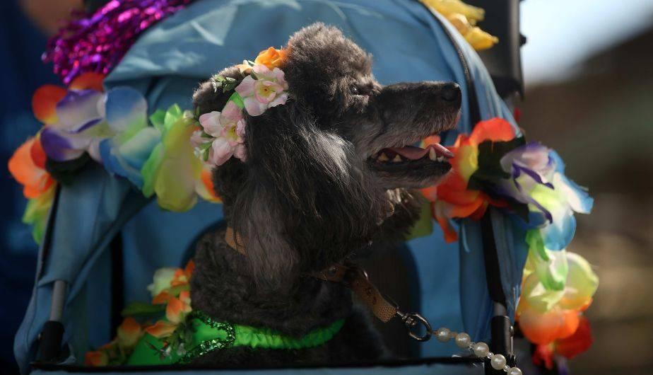Los perros también tuvieron su propio carnaval en Río de Janeiro, Brasil (EFE)