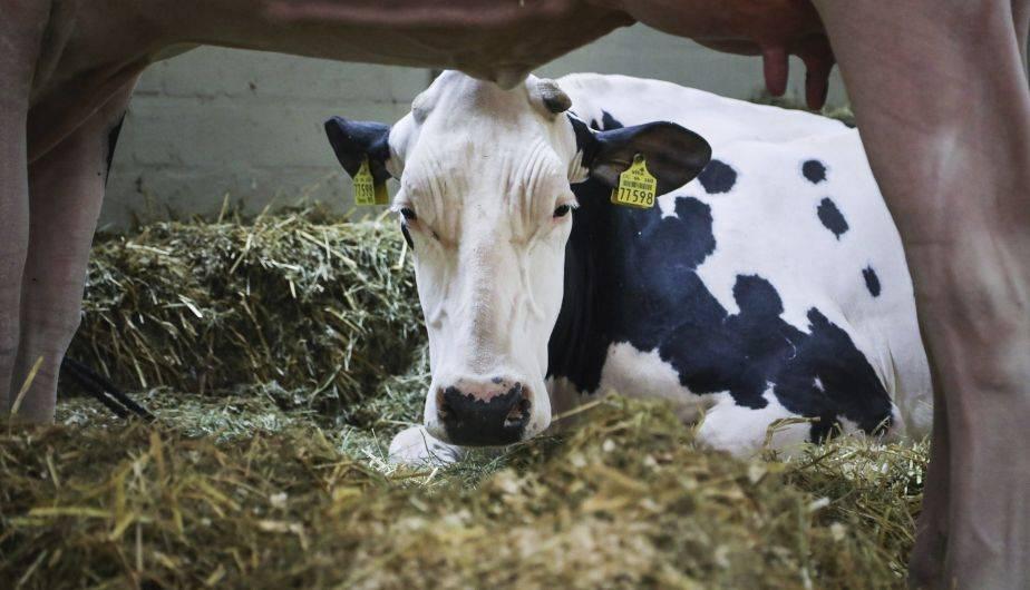 200 vacas participaron el jueves en un concurso de belleza en Alemania (EFE)
