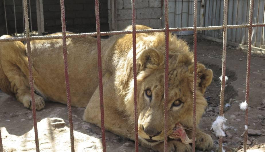 El león Simba. Su madre se comió el cadáver de su padre, pero prefirió morirse de hambre antes de poner una garra sobre su cachorro. (Foto: EFE)